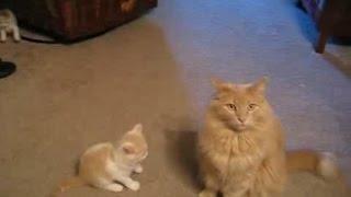 Котёнок нападает на большого кота