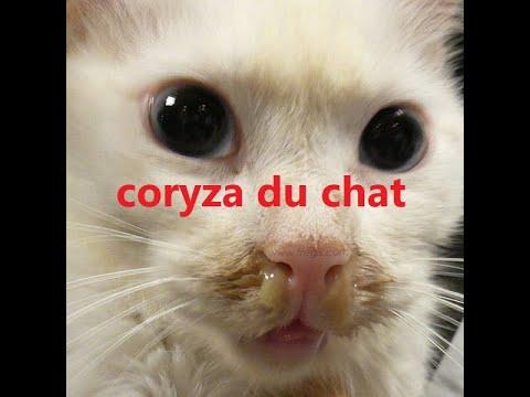 Le Coryza (ou Grippe) Du Chat