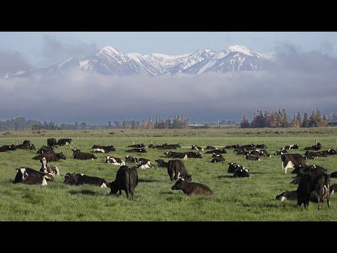 نيوزيلندا تحظر تصدير الأبقار الحية بسبب مخاوف من المس برفاهيتها …