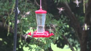 Hummingbirds swarm to Ladies Love Country Boys by Trace Adkins