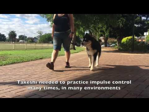 Takeshi the Dog Aggressive Malamute
