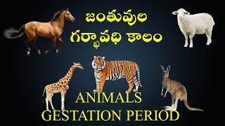 Animals Gestation Period
