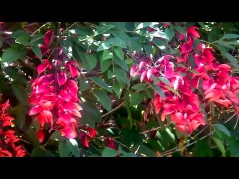 Beautiful red flower tree. Cockspur Coral Tree, Ceibo. Erythrina crista-galli