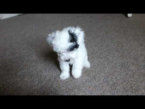Alberto Toy Schnoodle