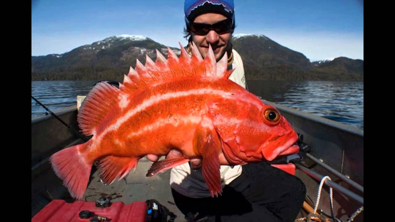 Giant yellow eye rock fish look youtube for Fish that looks like a rock