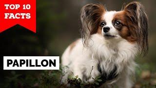 Papillon Dog  Top 10 Facts