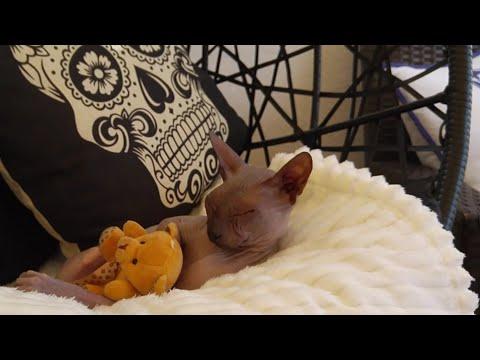 Sphynx cat swinging whit teddy beer / DonSphynx / 4K