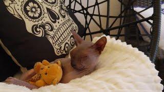 Sphynx cat swinging whit teddy beer Cute 4K