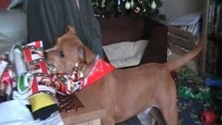 Staffordshire Bull Terrier:brody's First Christmas 2008...part 6
