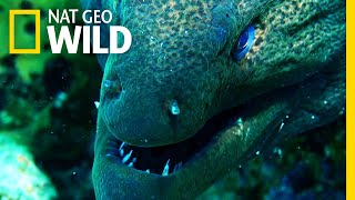 Moray Eel vs. Whitetip Reef Shark | Shark vs. Predator
