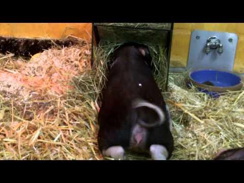 lustiges Schwein 1080 P Full HD !