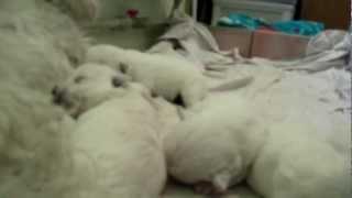 В Марте-Апреле 2012 щенки Вест Хайленд Уайт Терьера