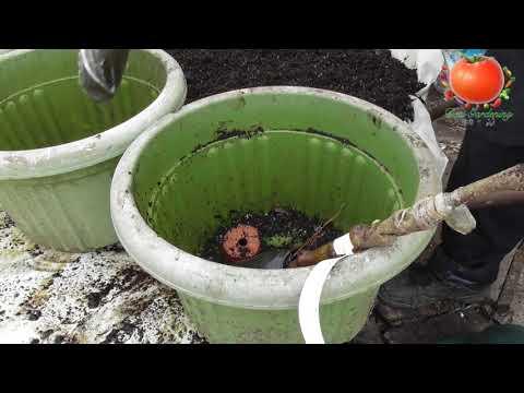 ★ Planting dwarf fruit trees Apple,Plum,Pear,Cherry,Nectarine & Apricot