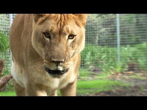 Lion Home Makeover!