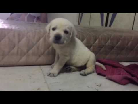 20 days old labrador puppy first day at home