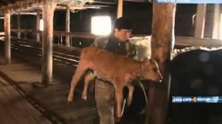 В Чурапчинском улусе разводят коров якутской породы