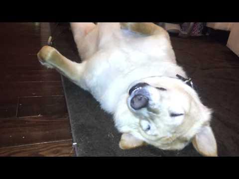 0 Cachorro dorme com música de ninar