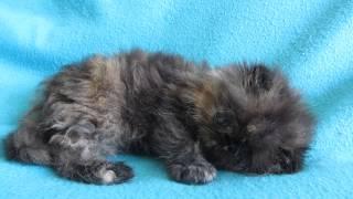Tortoiseshell Persian Kitten Available For Sale