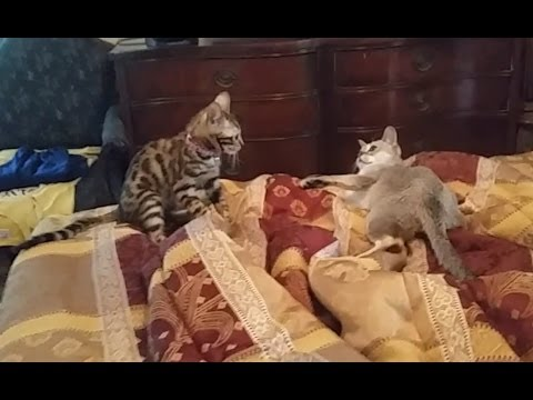 Baby Bengal Kitten Meets Singapura Kitten for the 1st Time!