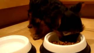 Yorkshire Terrier Yorkie Puppy Eating Royal Canin 29   Youtu