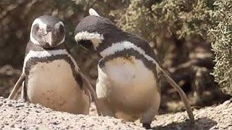 Pinguim de Magalhães, Casal de pinguins