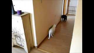 1 Cute German Shepherd Puppy Meets 2 Twin White Kitties