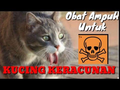 Cara Terbaik Mengobati Kucing Keracunan Youtube