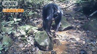 野生チンパンジーがカニ食べる 京大グループ初確認(19/05/30)