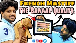 Do French Mastiff Drools a lot ? | Dogue De Bordeaux | Heavy Wrinkled Mastiffs | Contact7275863266