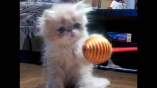 Невероятный кот перс