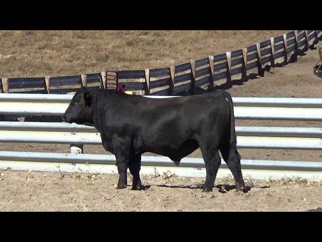 Connealy Angus Lot 158