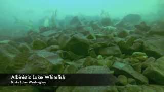 Albinistic Lake Whitefish - Banks Lake