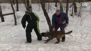 Собака для охраны, дрессировка, сквозной проход фигуранта и хватка вдогон