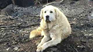 Dog that survived wildfire guarded home for weeks