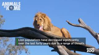World Lion Day 2020 at Melbourne Zoo