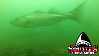 BASSY ROCKS - MID LONG ISLAND SOUND - SQUALUS MARINE DIVERS