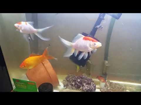GUPPIES & PLATYS Living W/MONSTER GOLDFISH