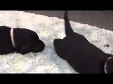 Flat Coated Retriever Puppies: Day 18