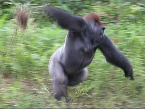 gorilla gif