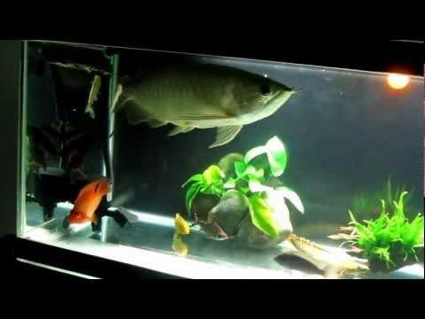 Hồ cá rồng thập cẩm ngày 22.01.2012