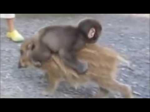 Baby Monkey Riding Backward on a Pig (ballad style)