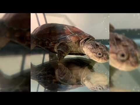 African Sideneck Turtle. Pros and Cons, Price, How to choose, Facts, Care, History