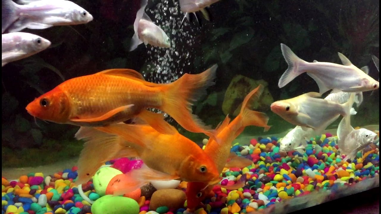 Fishes In Aquarium Colorful And Beautiful Fishes From India Youtube