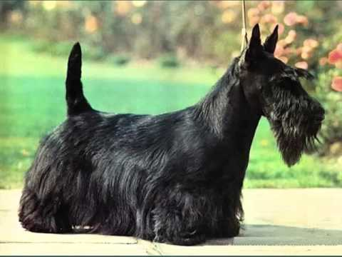 scottish terrier don t cute pictures of dog terrier scottish picture ideas of 6365