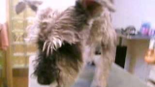 http://www.doggies.tv 今日も美容中頑張って最後まで立っていてくれま...