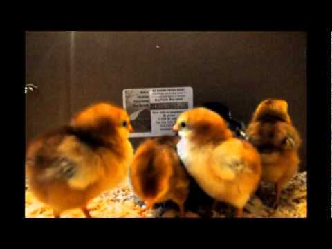 Chicks, Hens, and Pullets