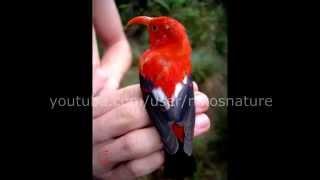 Hawaiian rainforest NATIVE bird song 22 minutes of relaxation