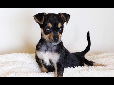 LIVE: Special Needs Chihuahua Puppy Looking for a Forever Home | The Dodo Live