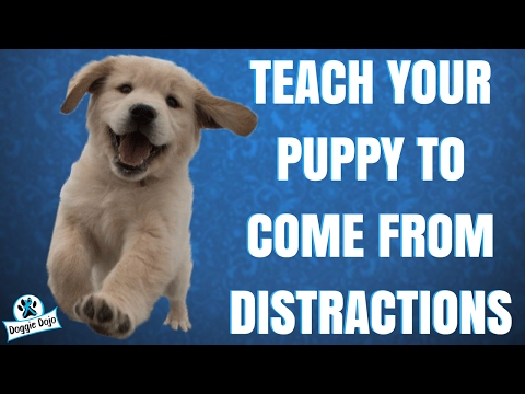 Teach Your Puppy To Come Away From Distractions!