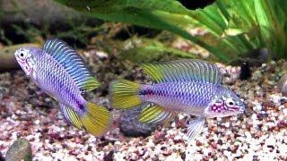 Apistogramma borellii, Pflege und Zucht im Aquarium